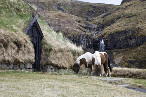 Horses at the Reconstructed Medieval Farm
